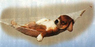 Uspaný pes
