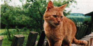 Cukrovka u koček a psů