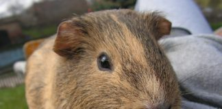 Caviaterapie - když pomáhají morčata