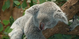 Koala – neoficiální maskot Austrálie