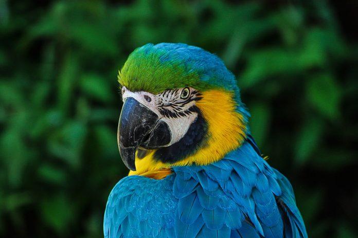 Mluvící papoušci (2): Jak naučit papouška mluvit