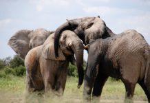 Sloni jako bojová zvířata